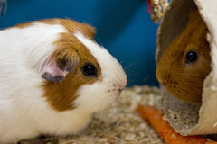 Orange & White Patch Guinea Pigs Stock Photography