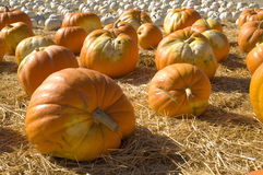 Orange and white pumpkin patch Stock Image