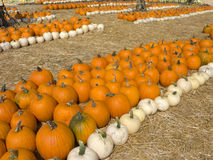Orange and White Pumpkins Royalty Free Stock Images