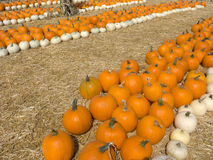 Orange and White Pumpkins Stock Photo