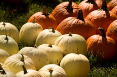 Orange and white pumpkins Royalty Free Stock Photos
