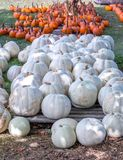 Orange and white pumpkins are ready for harvest in Michigan USA stock image