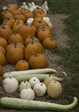 Orange and White Pumpkins and snake gourds Royalty Free Stock Images
