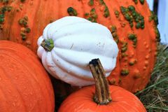 Orange and White Pumpkins for Thanksgiving stock images