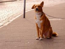Orange and White Short Coat Dog Sitting Royalty Free Stock Image