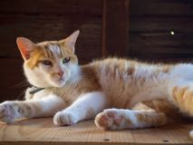 Orange and white sleepy cat stock photos