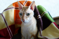 Orange and white  sphynx cat sitting in a basket. Young cat breed Sphynx (brush) sitting in a wicker basket under a colorful blanket Royalty Free Stock Image