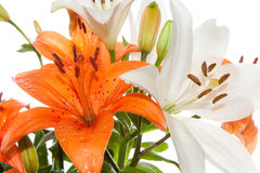 Orange and white Stargazer Lilies Stock Images