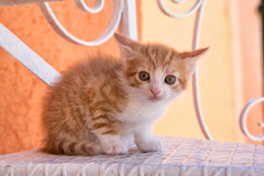 Orange and white striped kitten. Crouched orange and white striped kitten on white metal step Stock Photo