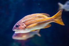 Orange white striped snapper Royalty Free Stock Images