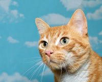 Orange and white tabby cat portrait. Orange and white tabby cat profile portrait with blue background with white clouds Stock Images