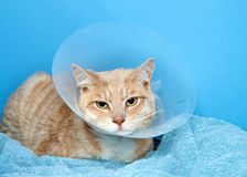 Orange and white tabby cat wearing an elizabethian collar. To prevent self injury after surgery. Also called the cone of shame stock photo