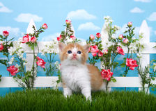 Orange and white tabby kitten in flower garden. Adorable long haired orange and white tabby kitten standing in long grass looking up with white picket fence in Royalty Free Stock Image