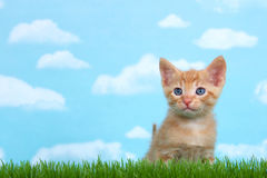 Orange white tabby kitten in tall grass. Young orange and white tabby kitten in tall grass with blue background with clouds looking forward slightly to side Royalty Free Stock Image