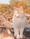 Orange and white tomcat standing on top of a wood pile Stock Photos