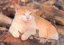 Orange and white tomcat on top of a wood pile Stock Image