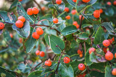 Orange Wild Berries In Ontario Canada Royalty Free Stock Images