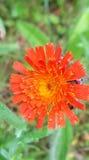 orange wild för blomma Arkivfoton