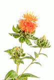 Orange wild flower, close up Royalty Free Stock Photography
