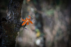 Orange wild flower in dark tone environment Royalty Free Stock Photography