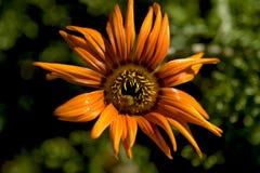 Orange wild flower Royalty Free Stock Photos