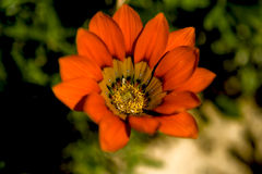 Orange wild flower Stock Photos