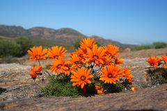 Orange wild flowers. Growing on a rock Stock Images