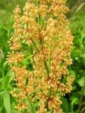 Orange wild flowers pattern. Beautiful red sorrel plant in summer meadow, Lithuania stock photo