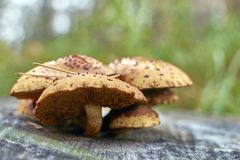 Orange wild mushrooms Armillaria grow. On a stump in deciduous forest. Mushrooms on wooden background. Group of beautiful mushrooms.Side view at eye level Royalty Free Stock Images