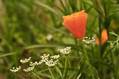 Orange wild poppy papaver rhoeas flower Royalty Free Stock Photo