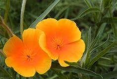 Orange wild poppy papaver rhoeas flower Stock Photo