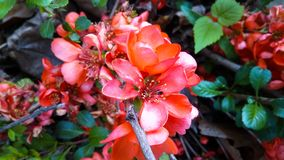 Orange wild rose dogrose buds on a branch in the forest stock photo