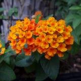 Orange Wild Sage in flower bed in the garden Stock Photography