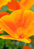 Orange wildflower Royalty Free Stock Photography