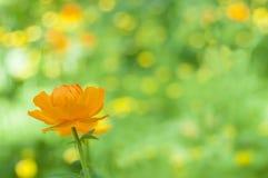 Orange wildflower in the woods. Globeflower in sunny day. Western Siberia. Spring flowers. Trollius asiaticus. Orange wildflower in the woods. Globeflower in royalty free stock image