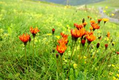 Orange wildflowers field Royalty Free Stock Photo