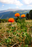 Orange wildflowers  in the mountains. Stock Photo