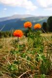 Orange wildflowers  in the mountains. Orange wildflowers growing on a meadow in the mountains on a sunny day Stock Photo