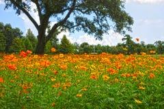 Orange Wildfowers und Live Oak Tree Stockfoto