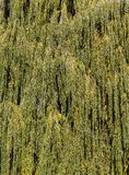 Orange willow. Green foliage on willow branches with yellowing leaves in early autumn month September stock photo