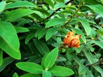 Orange wilted flower on a background of green leaves royalty free stock image