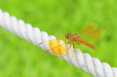 Orange wing of dragonfly Stock Images