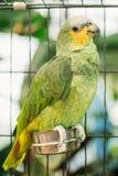 Orange-winged Amazon Or Amazona Amazonica, Also Known Locally As Orange-winged Parrot And Loro Guaro Stock Photography