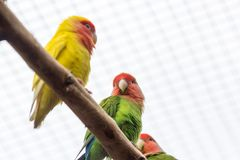 Orange winged amazon Canaima National Park in the southeast of Venezuela stock images