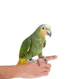Orange-winged amazon on hand of a white background Stock Images