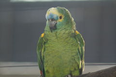 Orange-winged Amazon Parrot - Amazona amazonica Royalty Free Stock Photography