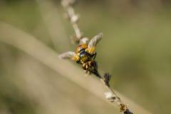 Orange winged beetle Royalty Free Stock Photography