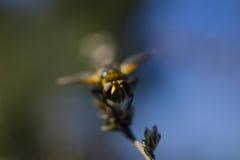 Orange winged beetle Royalty Free Stock Image