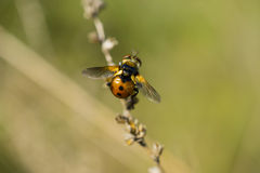 Orange winged beetle Royalty Free Stock Images