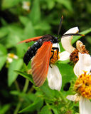 Orange-winged bug on flower Royalty Free Stock Photo